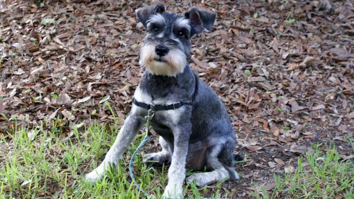 Meet the breed: Miniature Schnauzer