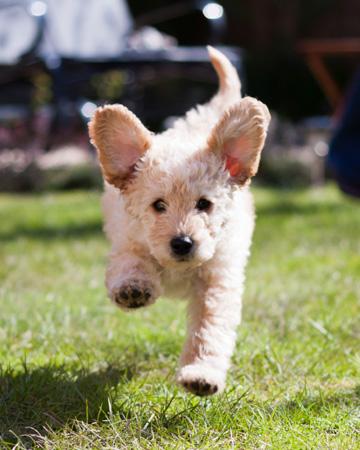 Hyper puppy running