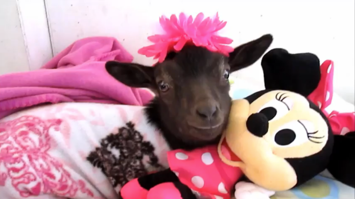 Goat poses while wearing pajamas and