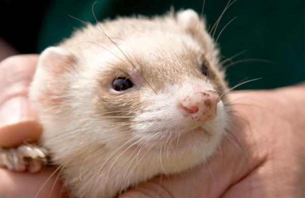 Hair loss in ferrets
