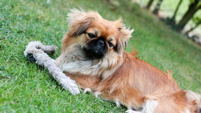 Meet the breed: Pekingese