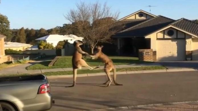 Kangaroos engage in most righteous street
