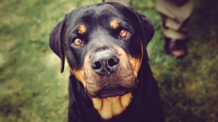 Yes, a Rottweiler got me over