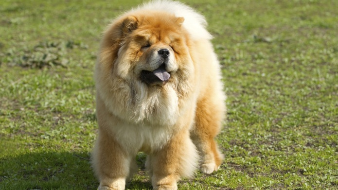 Meet the breed: Chow Chow