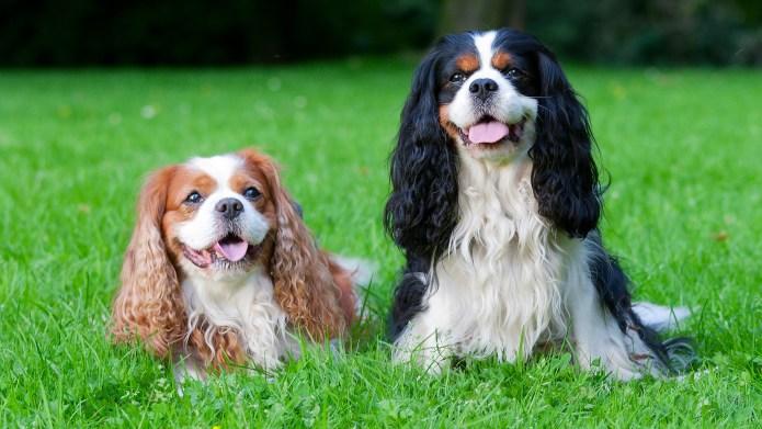 Meet the breed: Cavalier King Charles