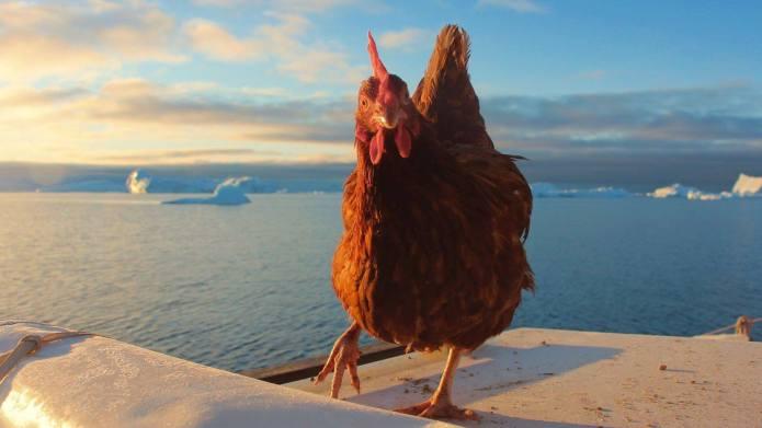 Monique the Traveling Chicken