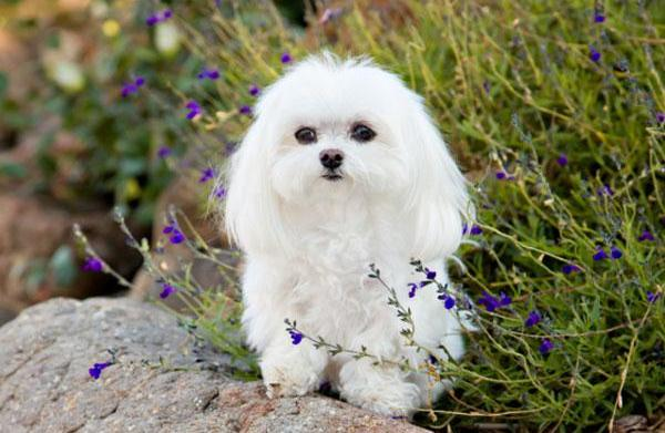 Meet the breed: Maltese