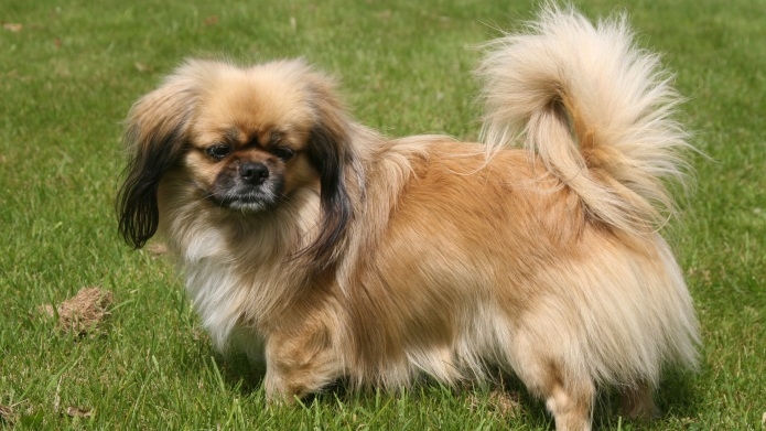 Meet the breed: Tibetan Spaniel