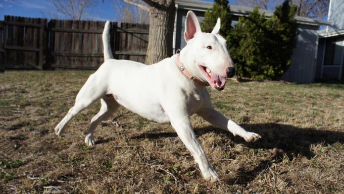 Meet the breed: Bull Terrier