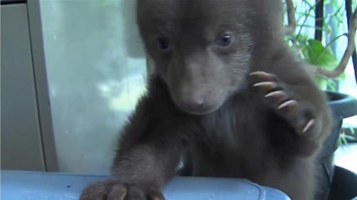 This little bear cub is so