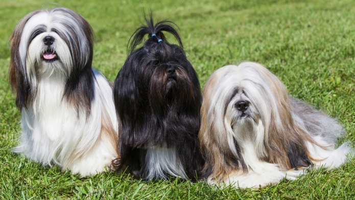 Meet the breed: Lhasa Apso