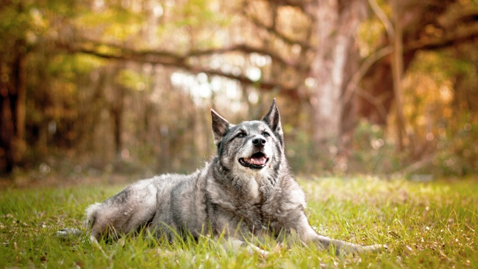 Meet the breed: Norwegian Elkhound – SheKnows