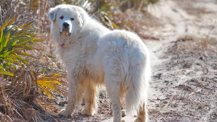 Meet the breed: Great Pyrenees