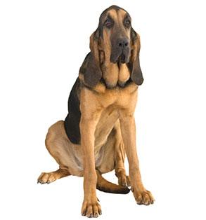 Bloodhound | Sheknows.com