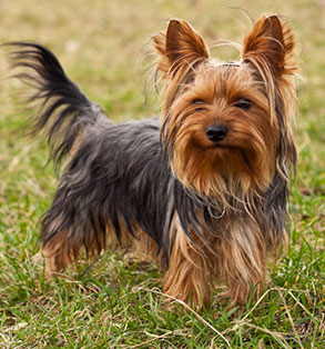 Yorkshire Terrier | Sheknows.com