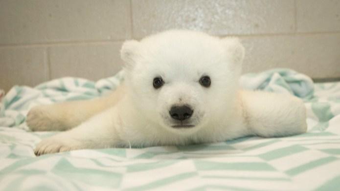 Tiny polar bear shines light on