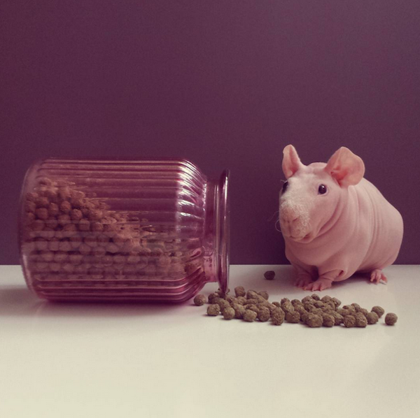 Naked Guinea Pig Posing With His Favorite Foods Will
