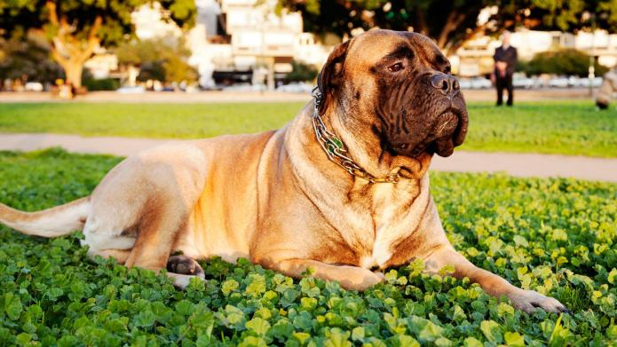 Meet the breed: Bullmastiff