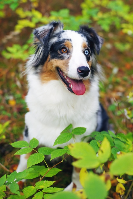 Beautiful dogs with different colored eyes
