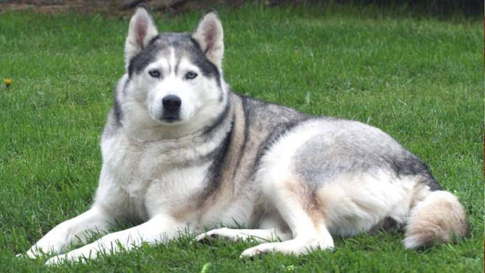 Meet the breed: Siberian Husky