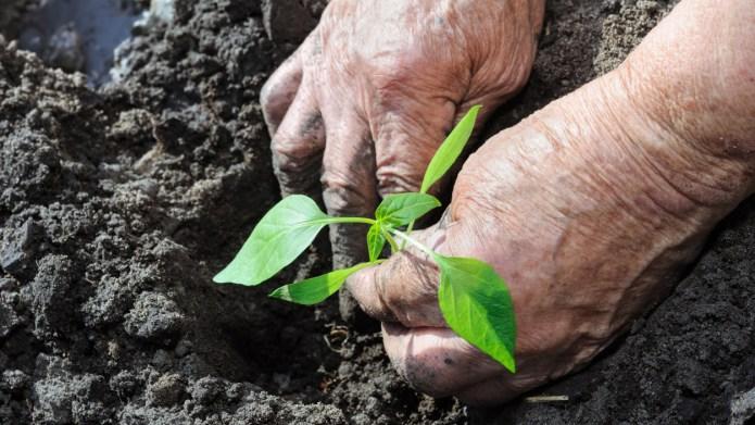 farmer planting a pepper seedling