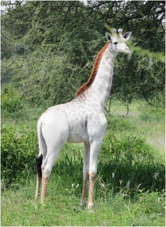Very rare white giraffe spotted in African bush