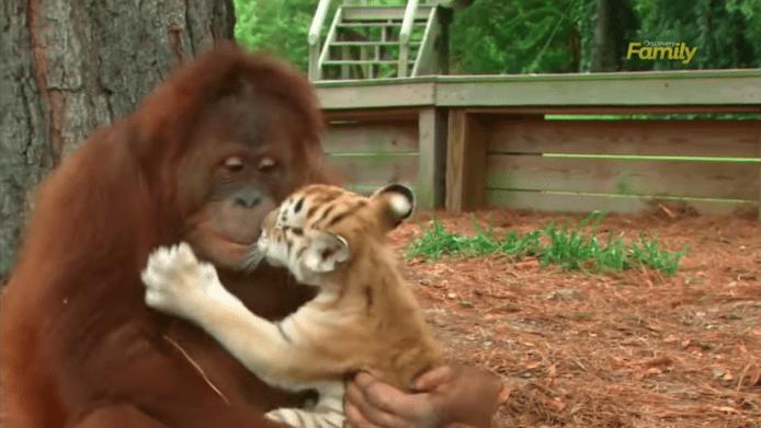 Orangutan adopts tiger cubs and the