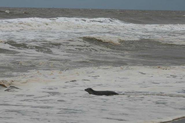 Celebration the seal pup released into the ocean