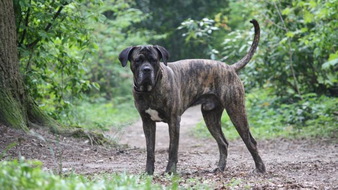 Meet the breed: Cane Corso