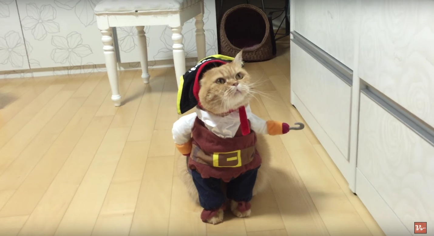 Pirate Cat costume wins the internet