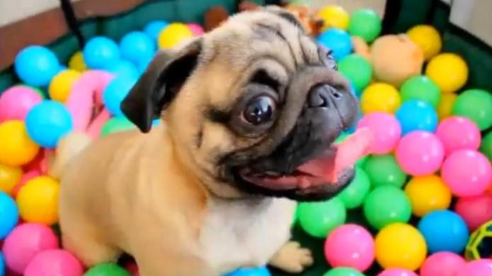 Overjoyed Pug loves to play in