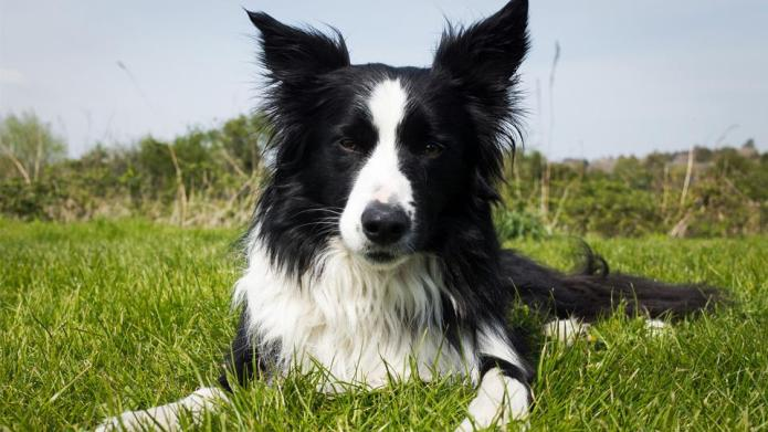 Meet the breed: Border Collie