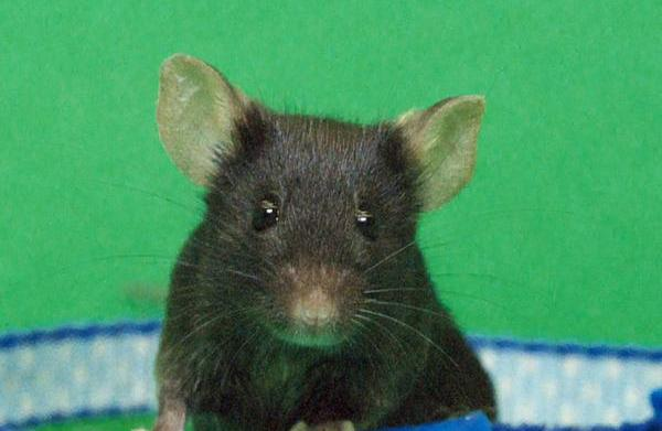 Deadly rodent-carrying virus found in TLC's