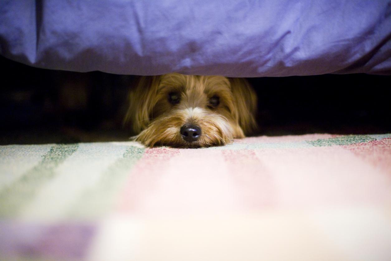 scared yorkie dog