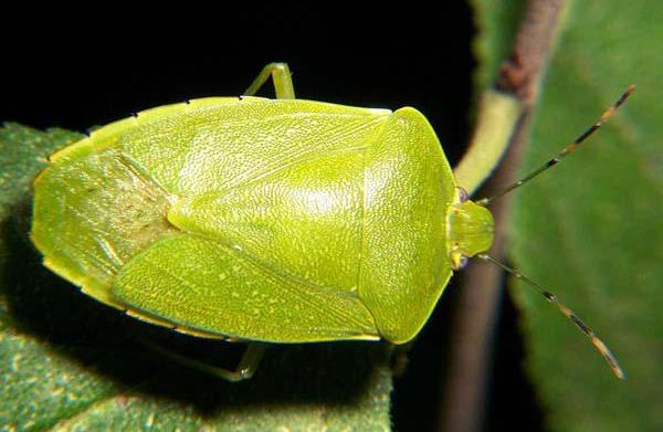 Stink bugs invade American homes