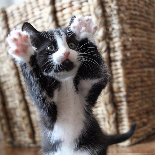 Shakira cat