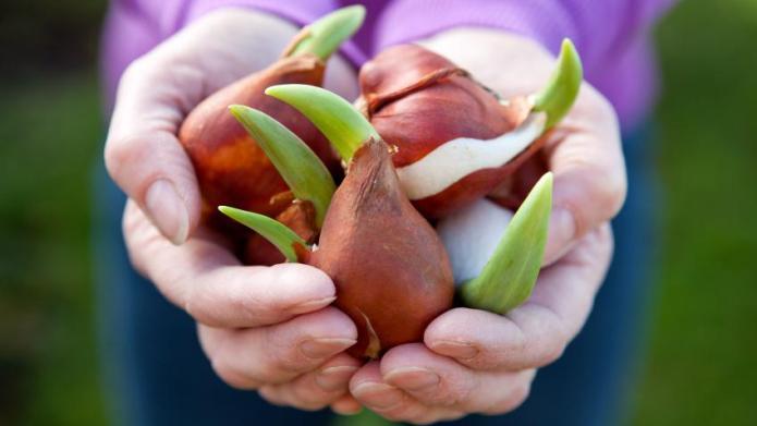 Prepare Soil for Spring Bulbs