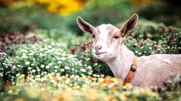 9 reasons dwarf goats make excellent