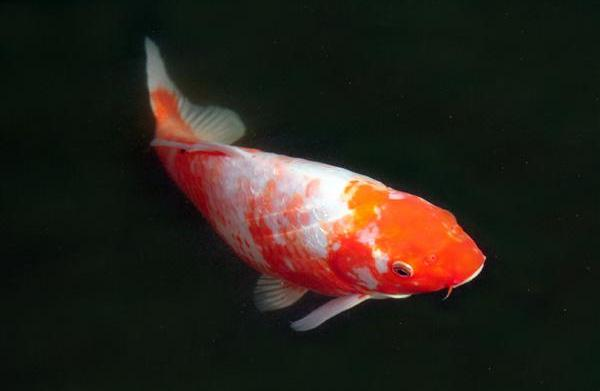 Bacterial infections in fish