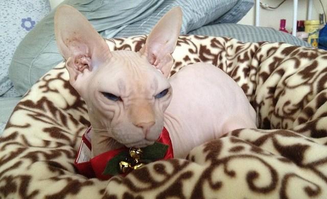 8 Hypoallergenic cat breeds so you