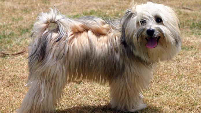 Meet the breed: Havanese – SheKnows