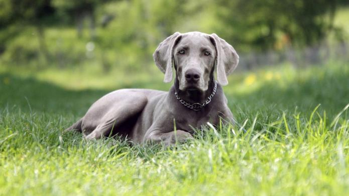 Meet the breed: Weimaraner