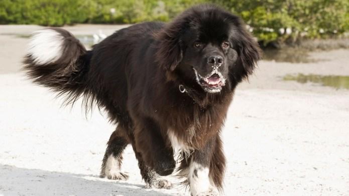 Meet the breed: Newfoundland