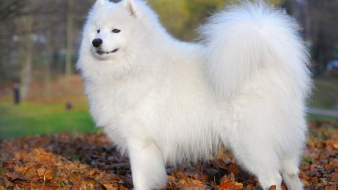 samoyed dog - Juvenile Champion of
