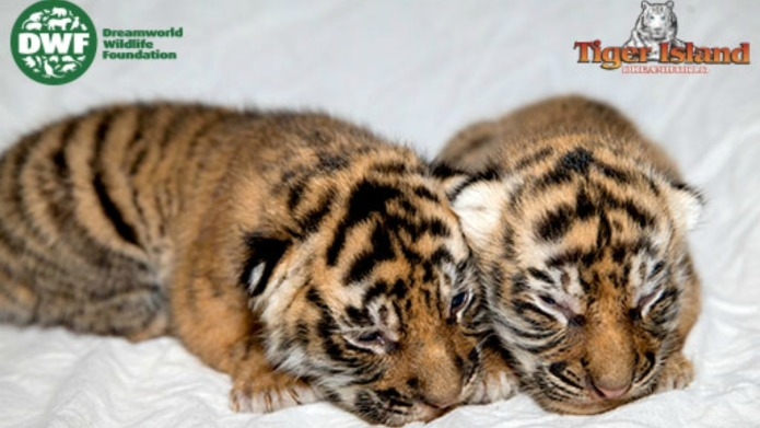 Tiger Island's twin cubs make their