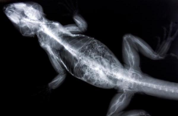 Internal abscesses in reptiles