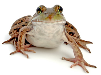 Wood Toad