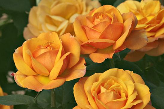 Traditional Home Classic Woman Rose