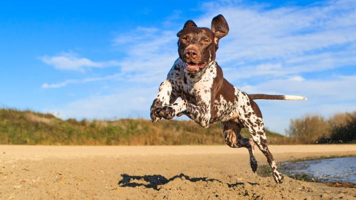 Meet the breed: German Shorthaired Pointer