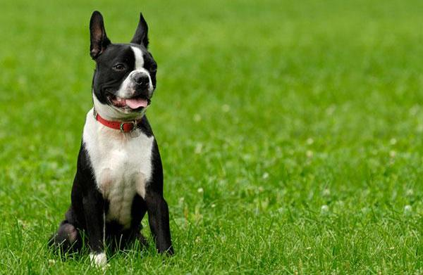 Meet the breed: Boston Terrier